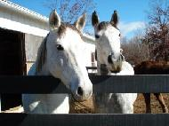 Lark and Missy are the Connemara ponies of Cheesecake Farms.  These Irish ponies are the sport utility vehicles of the horse world.  Friendly, happy and muscular.  They're ready for any adventure!